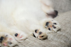 Closeup paws sleeping Pomeranian puppy. focus on the paw Royalty Free Stock Image