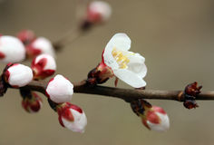 Closeup of peach blossom Royalty Free Stock Photo
