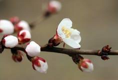 Closeup of peach blossom Royalty Free Stock Photo