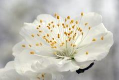 Closeup of peach blossom Stock Images
