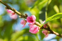Closeup peach blossom blooming on branch Stock Photo