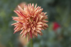 Closeup of peach colored Dahlia bloom and red stripes Stock Photo