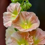 Closeup of Peach Colored Hollyhock Flowers Royalty Free Stock Image