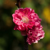 closeup of peach flower blooming in the garden Stock Images
