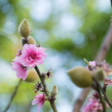 closeup of peach flower blooming in the garden Royalty Free Stock Photo