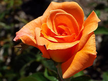 Closeup of peach or orange colored rose bloom Royalty Free Stock Photos