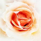 Closeup Peach Rose Fine Art. Digital painting created by hand using several techniques to resemble watercolor on paper Royalty Free Stock Image