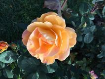 Beautiful peach colored rose stock photography
