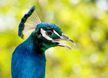 Closeup of a Peacock Stock Image