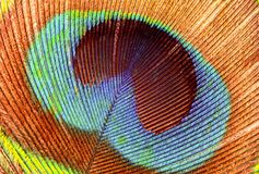 Closeup of a Peacock feather Stock Image