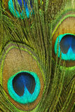 Closeup of peacock feathers Stock Photography