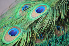 Closeup a peacock feathers (Pavo cristatus) Royalty Free Stock Image