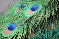 Closeup a peacock feathers (Pavo cristatus) Royalty Free Stock Image