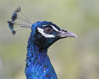 Closeup of Peacock Head Royalty Free Stock Photography