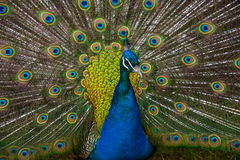 Closeup of Peacock. Member of Peafowl family, the male bird with blue green, brown and yellow plumage and which is the national bird of India royalty free stock image