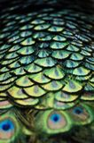 Peacock tail feathers Royalty Free Stock Image