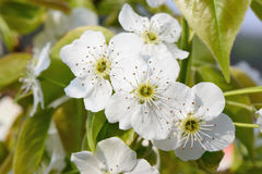 Closeup of pear blossoms Royalty Free Stock Image