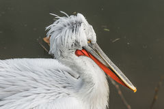 Closeup of a pelican in a dark lake Royalty Free Stock Photo