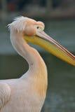 Closeup of Pelican Royalty Free Stock Photos