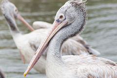 Closeup Pelican Royalty Free Stock Photo
