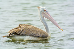 Closeup Pelican on water Stock Photos
