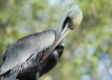 Closeup of pelikan Stock Photos