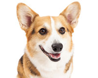 Closeup Of Pembroke Welsh Corgi Dog Stock Images