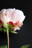 Closeup of Peonie Stock Photo