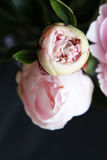 Closeup of Peonie. Closeup of beautiful pink Peonie flower on black background Royalty Free Stock Images