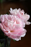 Closeup of Peonie Stock Image