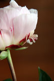 Closeup of Peonie. Closeup of beautiful pink Peonie flower on black background Stock Photography