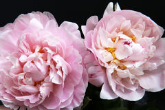 Closeup of Peonie Royalty Free Stock Photography
