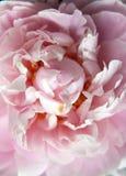 Closeup of Peonie Royalty Free Stock Photos