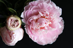 Closeup of Peonie Royalty Free Stock Images