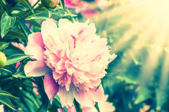 Closeup of peony flower Royalty Free Stock Images