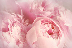 Closeup of peony flowers. With soft filtered look Stock Photography