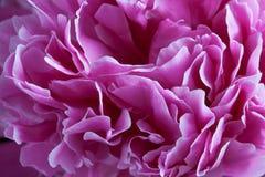 Closeup of peony petals Stock Images