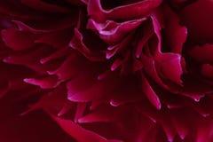 Closeup of peony petals Royalty Free Stock Photography