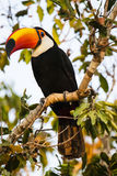 Closeup of Perched Wild Toco Toucan in Morning Light Royalty Free Stock Photos