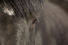 Closeup percheron horse Stock Images