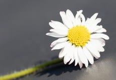 Closeup of a perfect single daisy Royalty Free Stock Photos