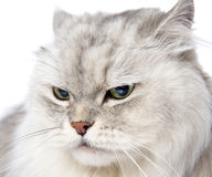 Closeup persian gray cat portrait. Stock Photo