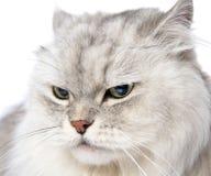 Closeup persian gray cat portrait. Stock Photo