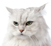 Closeup persian gray cat portrait. Stock Image