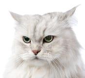Closeup persian gray cat portrait. Stock Image