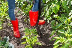 Closeup of person in red rubber boots digging soil in garden Stock Photos