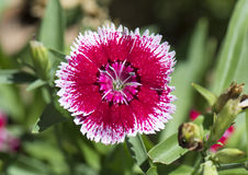 Closeup of a petal, dianthus chinensis royalty free stock images