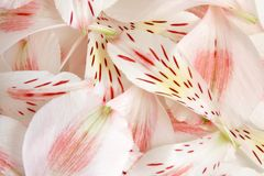 Closeup petals of alstroemeria Stock Photos