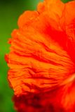 Closeup of the petals of the blooming red poppy flower Royalty Free Stock Photos