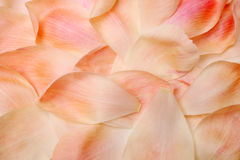 Closeup petals of coral peony Royalty Free Stock Photo